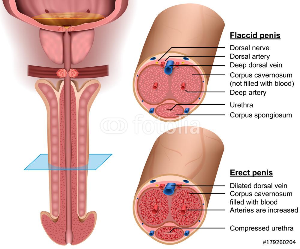 vriend-erectie penis